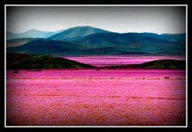 Atacama-Desert_Flowers_Bloom